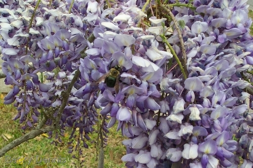 Wysteria with Bees