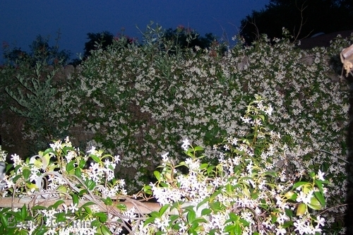 Fragrant Jasmine in full bloom.