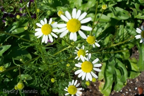 Chamomile flowers sing of Calm.