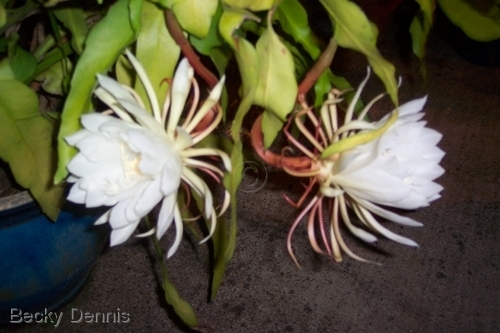 Night blooming cactus flowers.