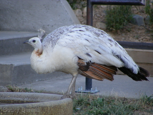White Peahen in front of the City of Ten Thousand Buddhas in CA