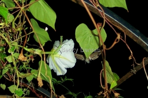Praying Mantis on Moonflower with Moth and Moon