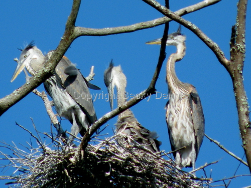 Nesting Herons in Gulfport, Mississippi