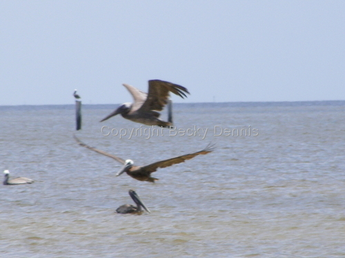 Pelicans on our Gulf Beach in Mississippi