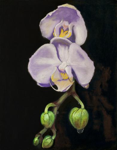 Phalaenopsis, Amsterdam