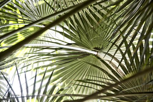 'Florida Silver Palm' by Bibbins