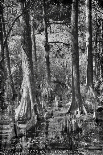 'Cypress Knees' by Frank Bibbins