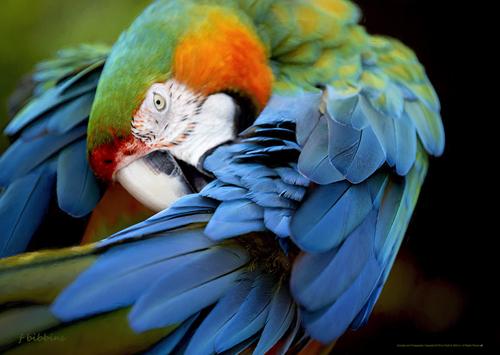 'Macaw' by Bibbins