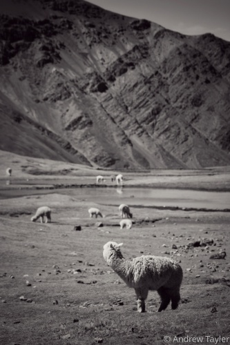 Alpaca grazing in the Andes