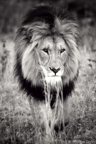 Male lion on the prowl by Andrew Tayler