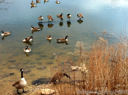 Local Pond Geese