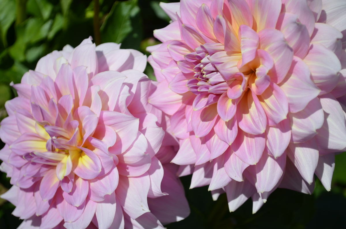 Asters (large view)