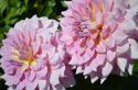 Asters (thumbnail)