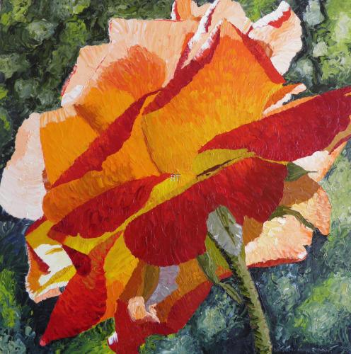 Sunlit 'Joseph's Coat' Rose
