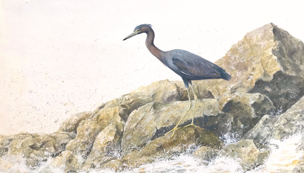 Little Blue Heron (large view)