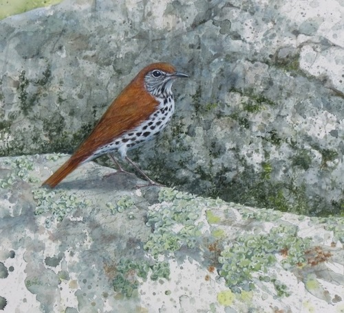 Wood Thrush on the Rocks (large view)