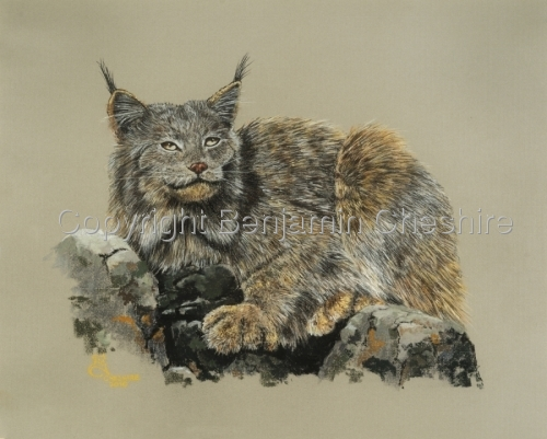 Study of North American Lynx
