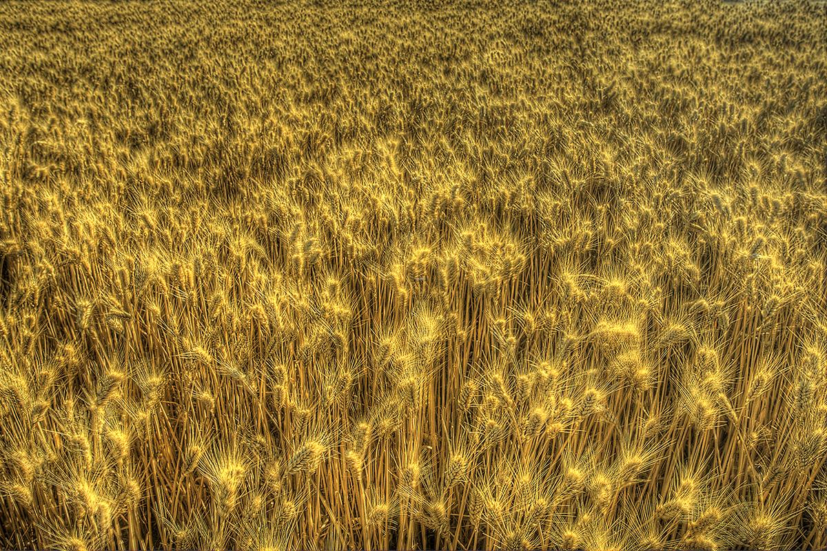 Washington Wheat (large view)