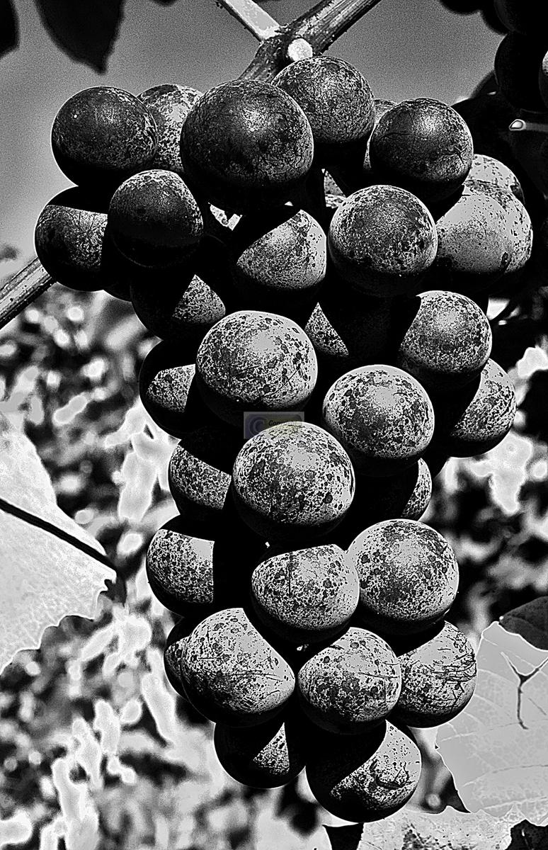 Vine ripened #2 (large view)