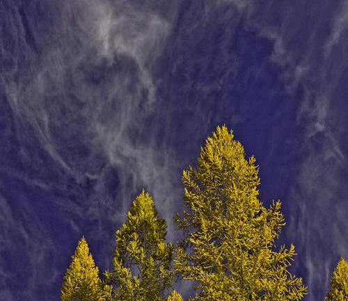 Cirrus Foliage (large view)