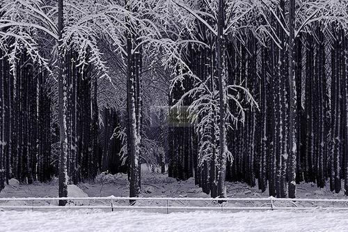 Poplars #3 (large view)