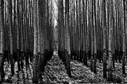 Poplars #1 (large view)
