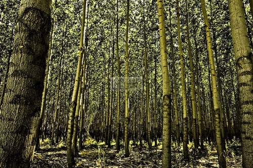 Poplars #2 (large view)