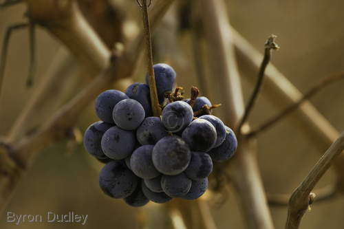 Mythical Grapes (large view)