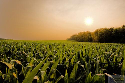 Hennepin Corn (large view)