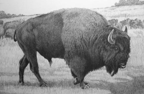 """""""Buffalo Bull"""""""