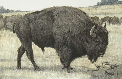 Buffalo Bull, Hand-Colored