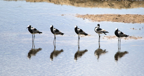 Plovers & reflections