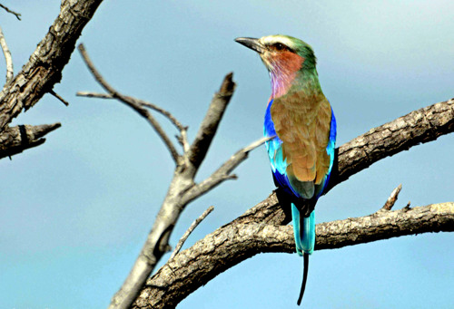 LIlac breasted roller resting by Blue Continent Alliance