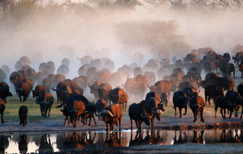 Buffaloes come for a dawn drink 3