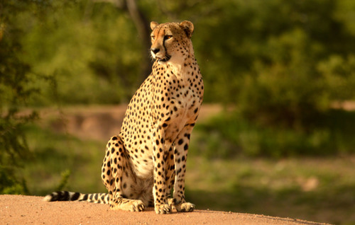 Cheetah on alert
