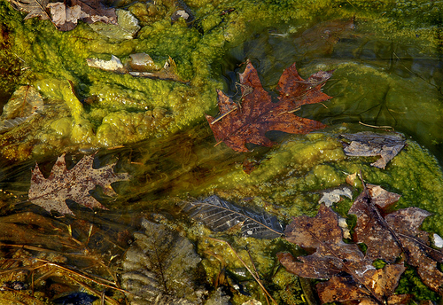 Oak leaf in Algae Bloom