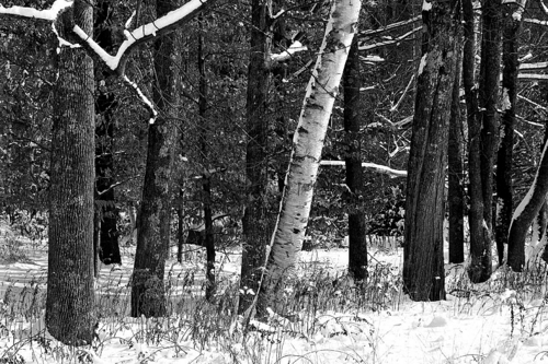 Birch Tree in Snow