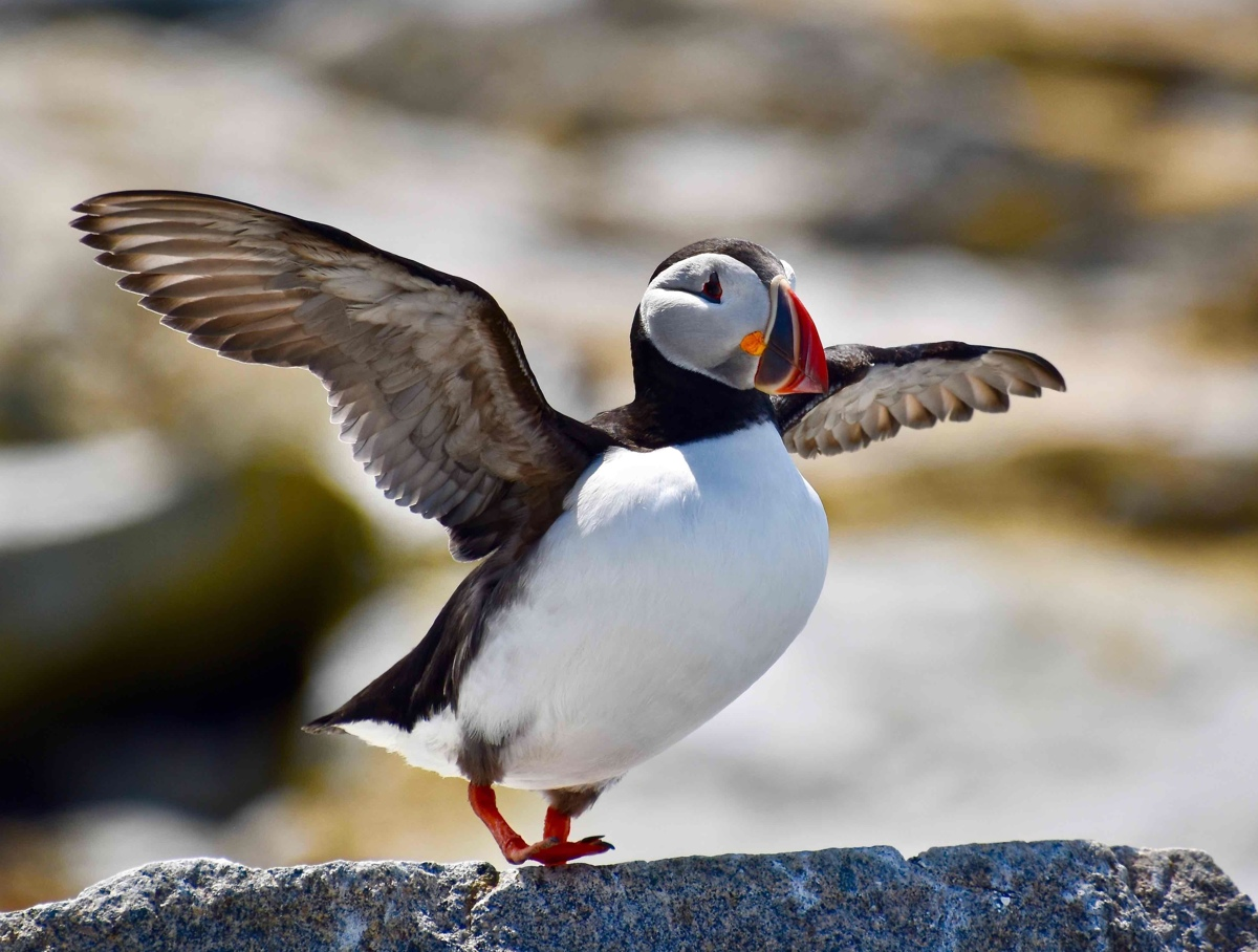 Atlantic Puffin (large view)