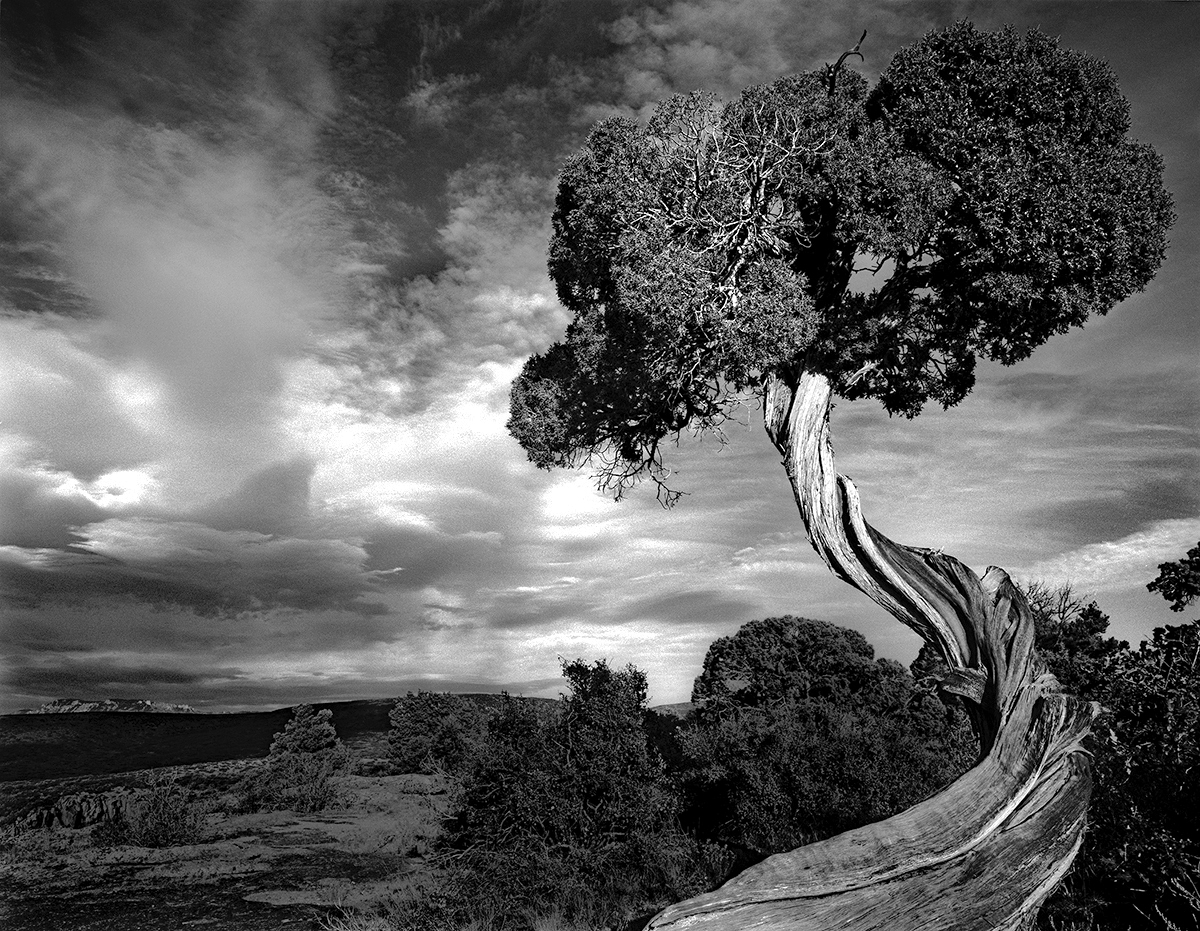 Gnarled Juniper (large view)