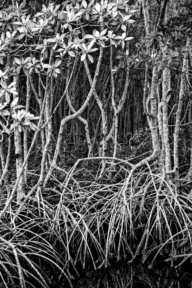 Mangroves (large view)