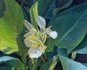 #521 Canna Lily (thumbnail)