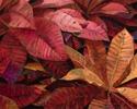 #522 Garden Croton (thumbnail)