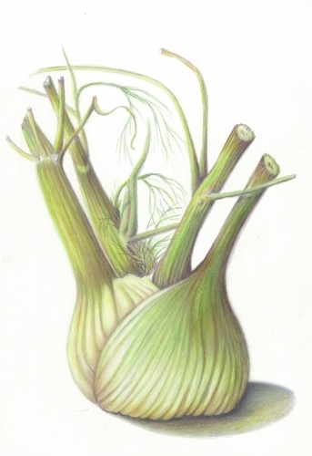 Fennel Bulb (large view)