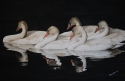 Tranquility II: Immature Trumpeter Swans (thumbnail)