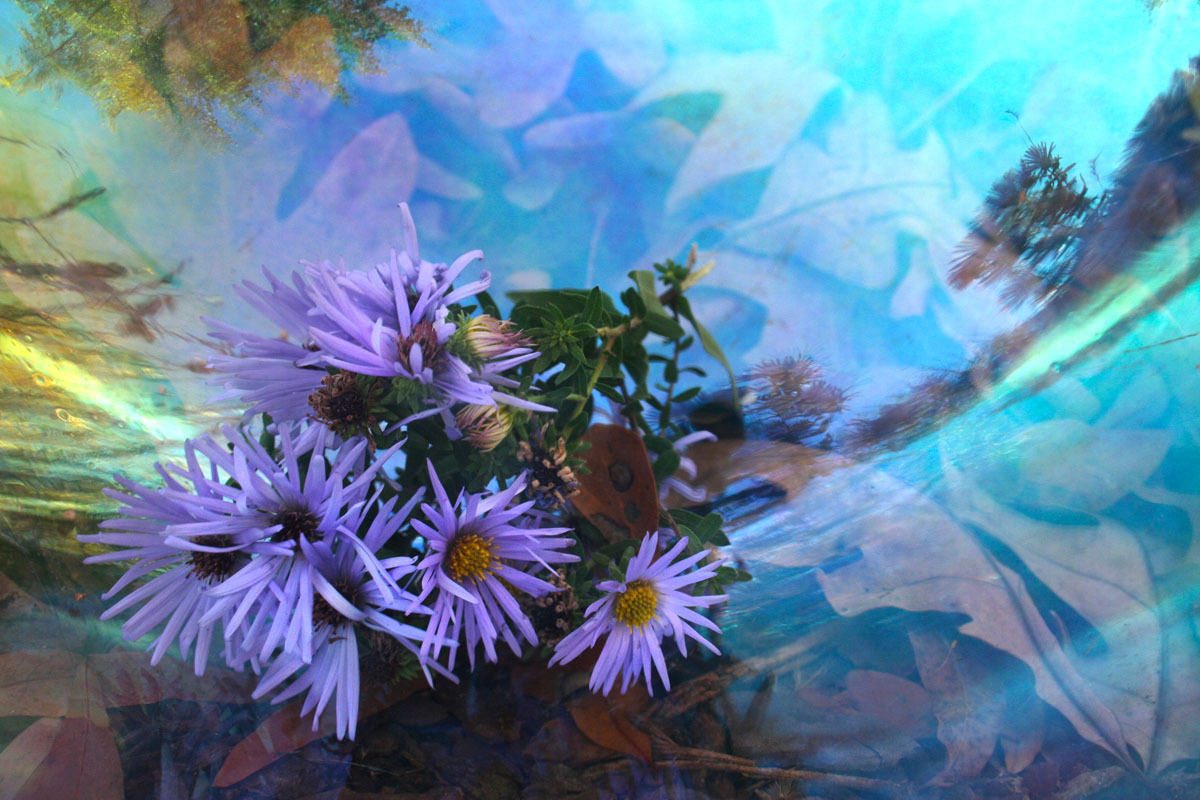 Adkins Asters (large view)