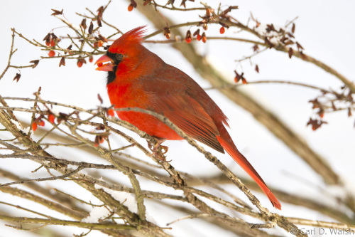Cardinal with Red Berry