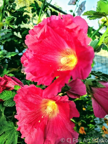 Dark Pink Hollyhock Blooms