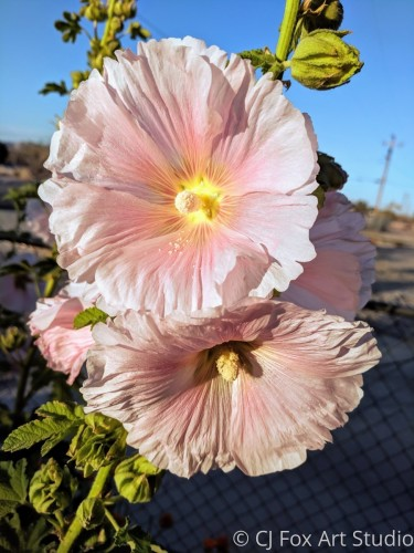 Light Pink Hollyhock Blooms