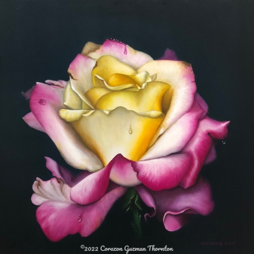 Pink and yellow rose #1