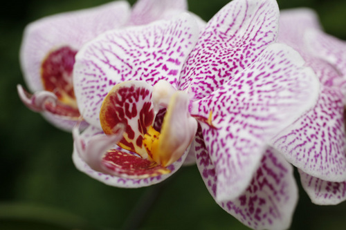 """Cheryl's Orchids-I"""